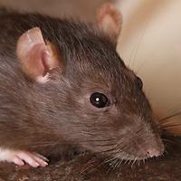 Adopt Rats a Rat