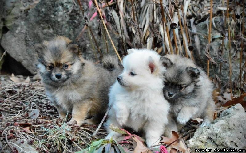 AKC Male and Female Pomeranian puppies