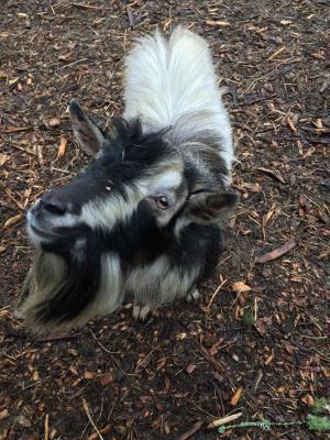 Adopt Stitch/Nigerian Dwarf a Goat
