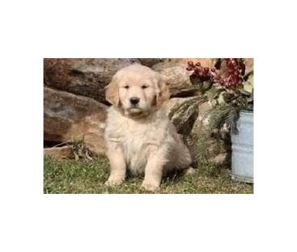NBHYU Excellent Golden Retriever Puppies Available For Sale