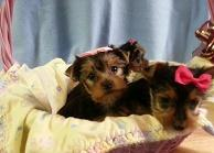 affectionate teacup yorkie pups for great homes