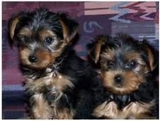 AKC registered cute teacup yorkie puppies for sale.