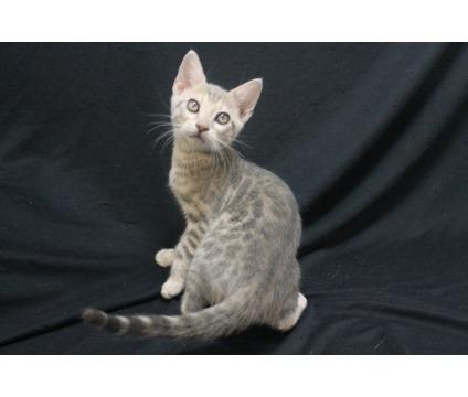 Blue rosetted female Bengal kitten