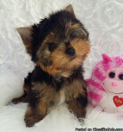 AKC registered Yorkie puppies ready Now
