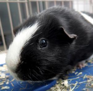 Adopt Oafie a Guinea Pig