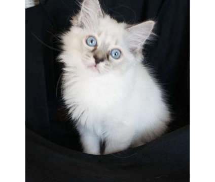 Vdfty Ragdoll Kittens male And Female Available