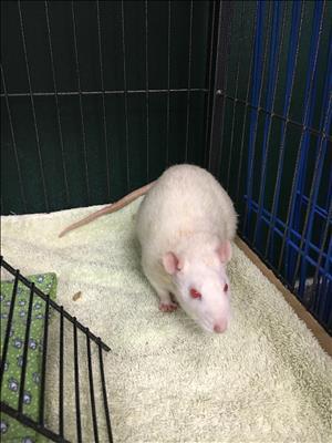 Adopt Ramona a Rat
