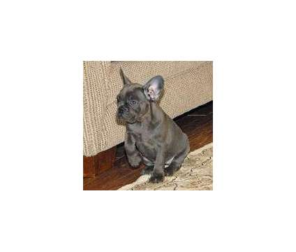 ;,;lfml;; Excellent trained french bulldog puppies for sale