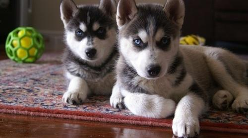 Smart - Siberian Husky dogs puppies