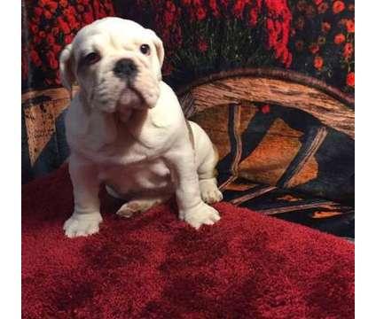 Annie English Bulldog Puppies