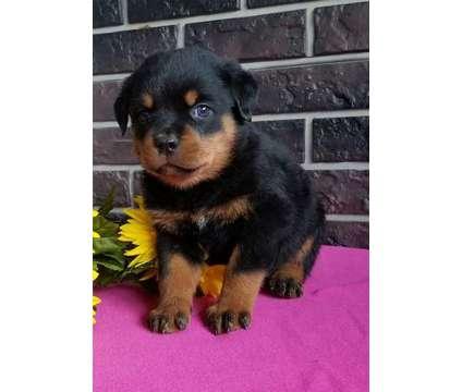 BNHGT M/F Rottweiler Puppies