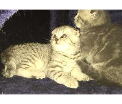 tabby scottish fold kittens