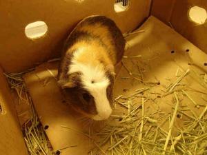 Adopt LENNY KRAVITZ a Guinea Pig