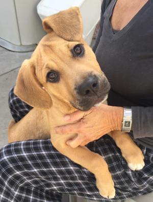 Adopt Parker (BH) a Shepherd, Pit Bull Terrier