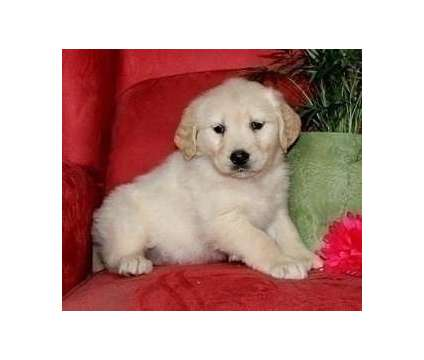 BDFGRI Excellent Golden Retriever Puppies Available For Sale