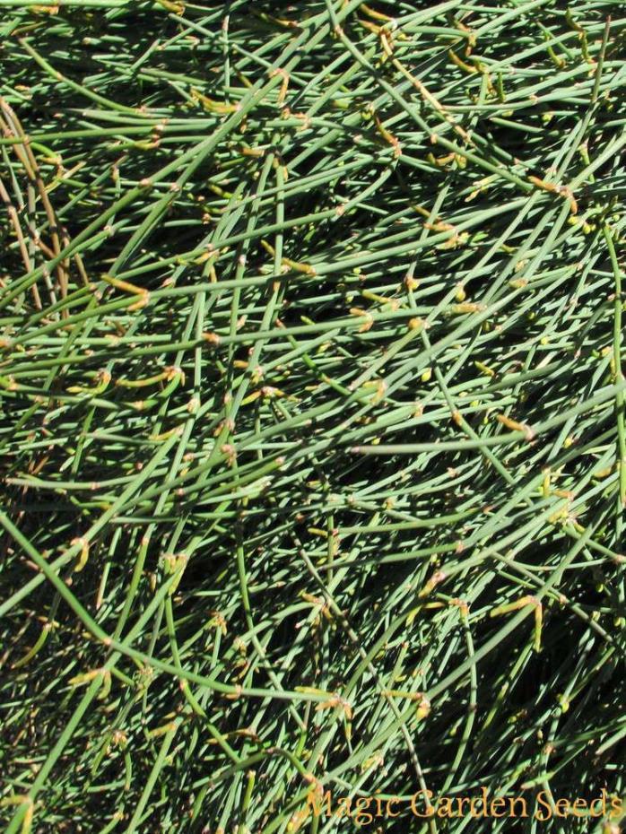 Ephedra sinica (Ma Huang), #150 seeds