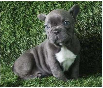 BNHHJI Gorgeous French Bulldog Puppies Available For Sale