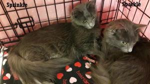 Adopt Sparkle a Domestic Medium Hair-gray