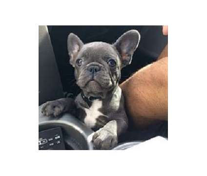 .';',;';, /.lkkj Stunning Frenchie puppies for sale now