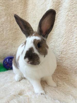 Adopt Sir Hopsalot a Bunny Rabbit