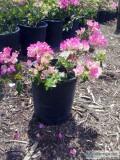 Bugambilia gallon pink