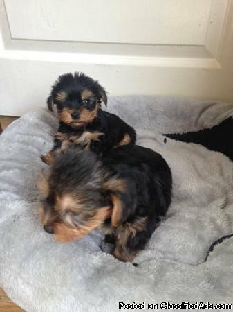 Yorkie Puppies male and female