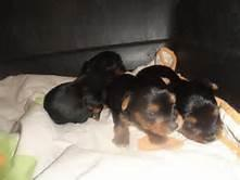 Gorgeous  Male and Female Yorkie pups
