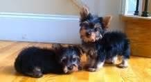 purebred Charming Teacup Yorkies available