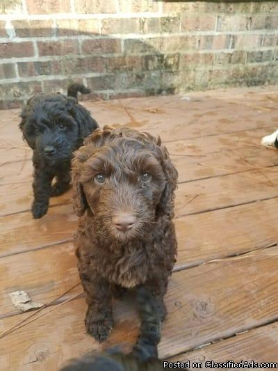 Multigenrational Labradoodles