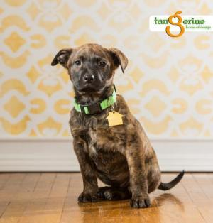 Adopt Weedle a American Staffordshire Terrier, Pit Bull Terrier