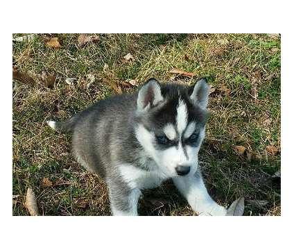 AKC Siberian Husky Pups