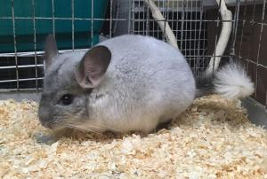 Adopt 6 month white mosaic male chinchilla a Chinchilla
