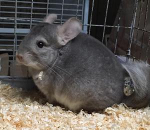 Adopt 6 month hetero beige male chinchilla a Chinchilla