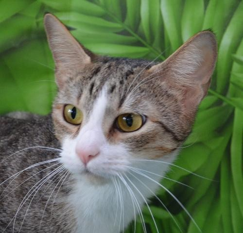 Adopt Jasmine a Gray, Blue or Silver Tabby Domestic Shorthair / Mixed (short