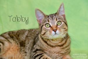 Adopt Tabby a Tabby - Brown