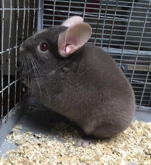 Adopt 8 month old dark tan male chinchilla a Chinchilla