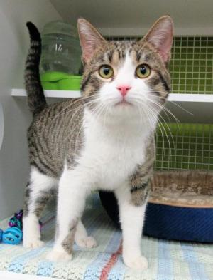 Adopt Marvin East - Outgoing-Playful a Domestic Short Hair