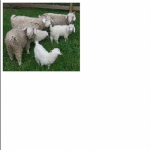 Goats supply,Excellent breeds available