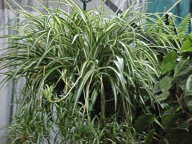 spider plants for sale classifieds. Black Bedroom Furniture Sets. Home Design Ideas