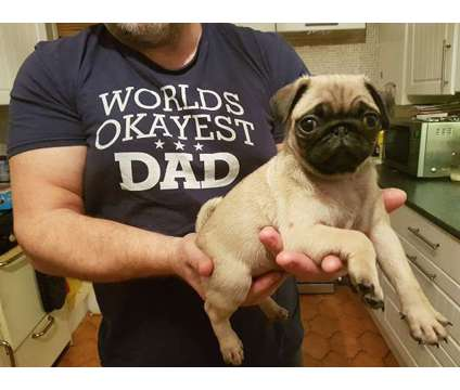 sefecedcjiii Pug Puppy for Sale Male/Female