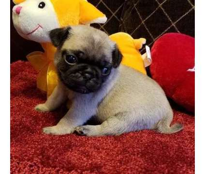 ppjthtxfghs Male and Female Pug Puppies Now Ready