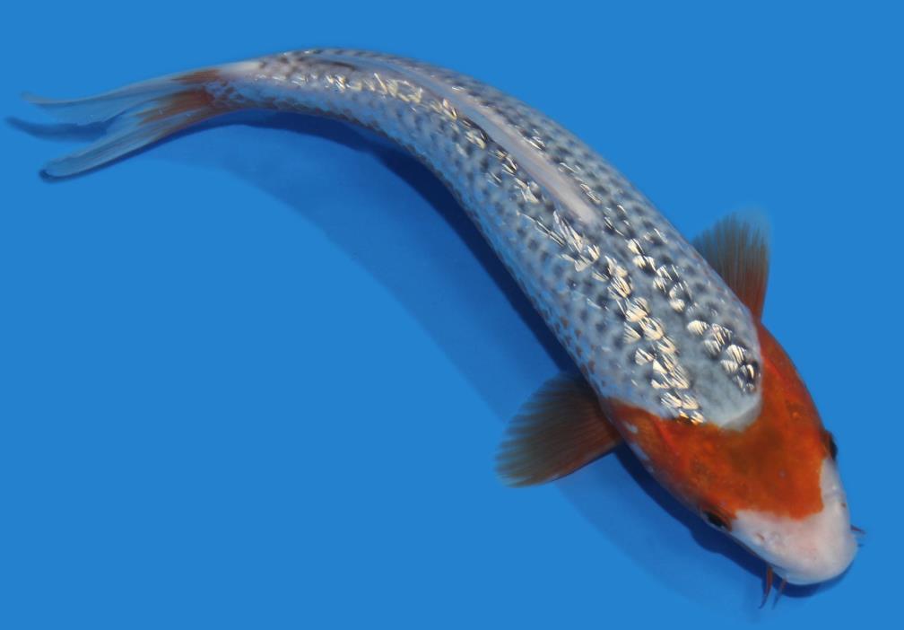 Live koi fish 10