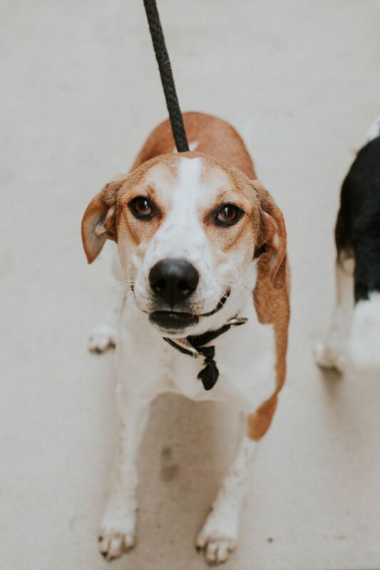 Unknown-Coonhound Mix DOG FOR ADOPTION RGADN-484229 - Bonnie - Chino Hills -