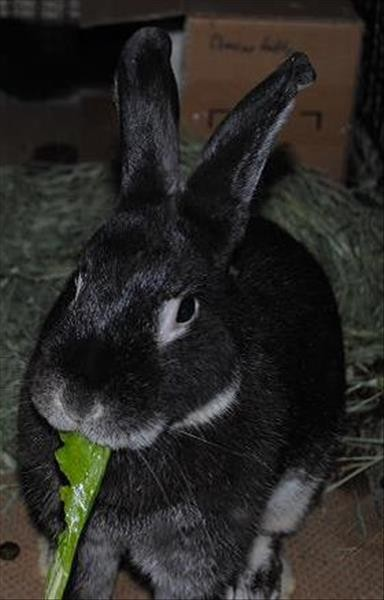 Adopt Moon a American / Mixed rabbit in Madison, NJ (17741252)
