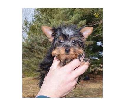 dfygfuigugj77uyhf Yorkshire Terrier puppies Male/Female