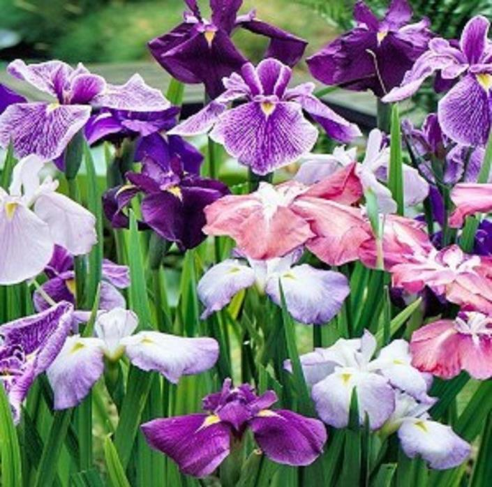 JAPANESE IRIS ENSATA - PERENNIAL - 500+ SEEDS - NEW CROP! - PLANT NOW - LOOK!