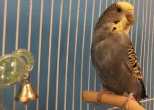 Adopt Halo a Parakeet (Other)
