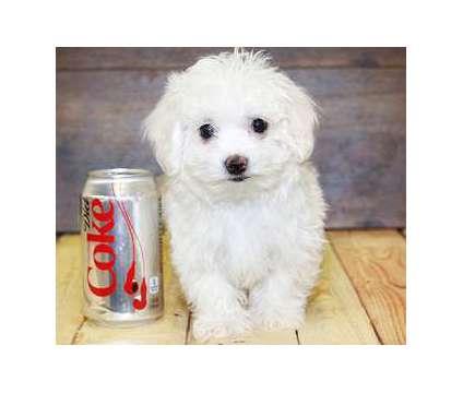 AKC Teacup Maltese Pups