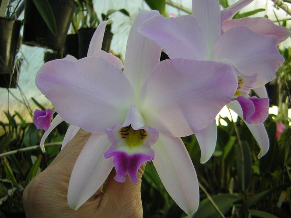 Orchid species -- Laelia anceps 'SanBar Pink Envy' HCC/AOS
