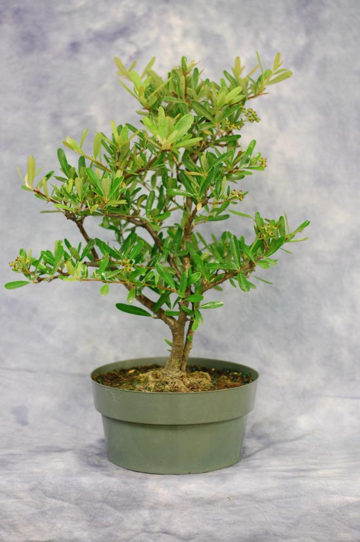 Firethorn Pre Bonsai tree. Cold Hardy to zone 5
